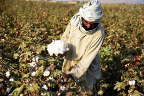 किसानों की चिंता, टिड्डी चट न कर जाए कपास, बाजरा की फसल