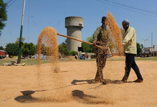 देशभर में गेहूं की सरकारी खरीद 300 लाख टन के पार