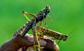 अफ्रीका में तांडव मचाने के बाद भारत में टिड्डियों का खतरा, यूएन ने दी चेतावनी