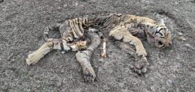 टापू पर मिला बाघ शावक का सड़ा-गला शव
