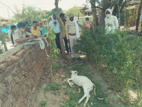 तेदुआ ने किया मवेशियों का शिकार दो की मौत, एक घायल