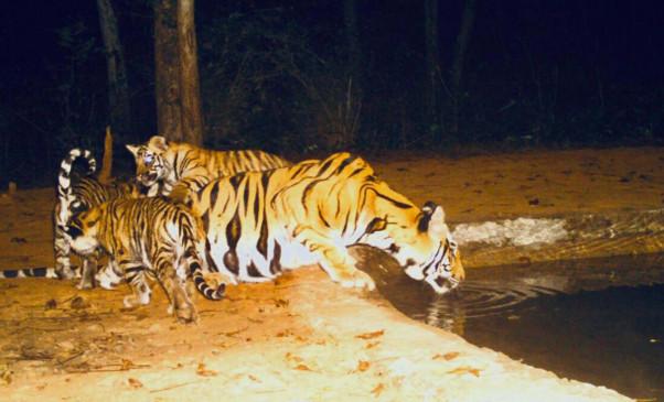 अपने शावकों से के साथ पहली बार देखीं गई दो बाघिनें - 6 शावकों ने जन्म लिया