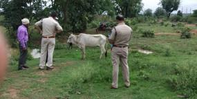गाय को खिलाया विस्फोटक , क्षत-विक्षत हुआ निचला जबड़ा - पुलिस कर रही आरोपियों की तलाश