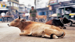 केरल के बाद अब हिमाचल में अमानवीयता, गर्भवती गाय को खिलाया विस्फोटक, बुरी तरह जख्मी