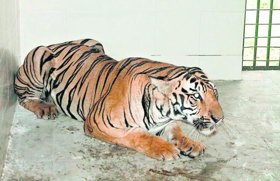 घायल तेंदुए की मौत, बाघिन की हालत नाजुक