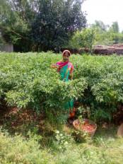 झारखंड : तीखी मिर्ची की खेती से महिलाएं जिंदगी में घोल रही मिठास