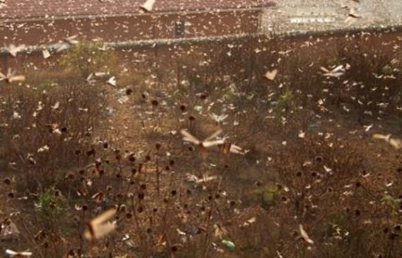 प्रयागराज में टिड्डियों का हमला, कोई बड़ी क्षति नहीं