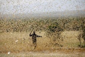 दिल्ली-एनसीआर मंे टिड्डियों के हमले, हरियाली चट करने का चिंता