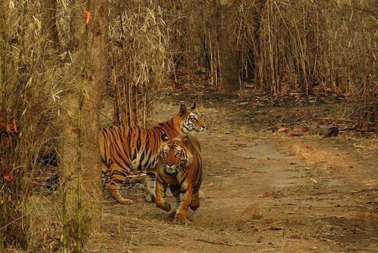 बस्ती में बाघों का मूवमेंट, बफर एरिया चिन्हित होने के बाद भी 10 गांव विस्थापित नहीं हो पाए