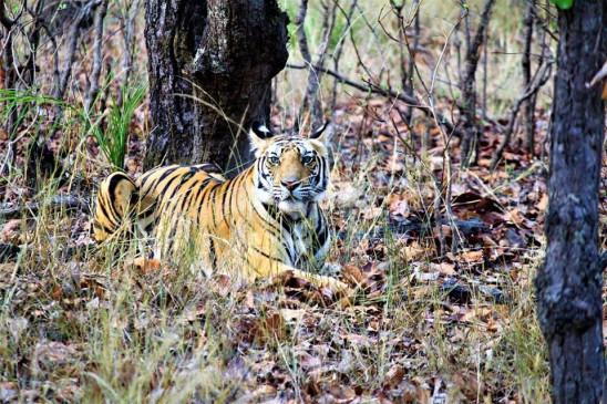 मप्र : बांधवगढ़ का कोर जोन पर्यटकों के लिए 15 जून से खुलेगा