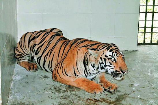 नागपुर :  गोरेवाड़ा लाया गया नरभक्षी बाघ