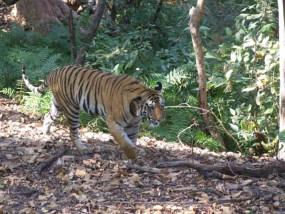 दो महीने के लिए एनएच-7 बंद 'जबलपुर से नागपुर की दूरी 70 किमी बढ़ी - वन्य जीवों ,के लिए बनाए जा रहे 10 अंडर पास