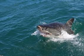 ऑस्ट्रेलिया में शार्क का हमला, सर्फर की मौत