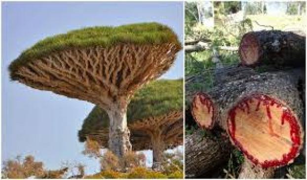 Bloodwood tree: अनोखा है ये पेड़, काटने पर निकलता है इंसानों की तरह खून