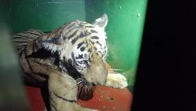 गोरेवाड़ा के डॉक्टरों की निगरानी में है एक बाघ, दूसरे की संदिग्ध मौत के बाद होगा कोरोना टैस्ट