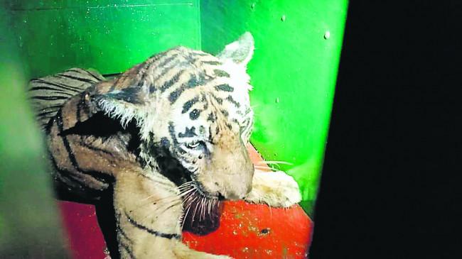 घर में घुसा बाघ, 6 घंटे की मशक्कत के बाद पकड़ाया