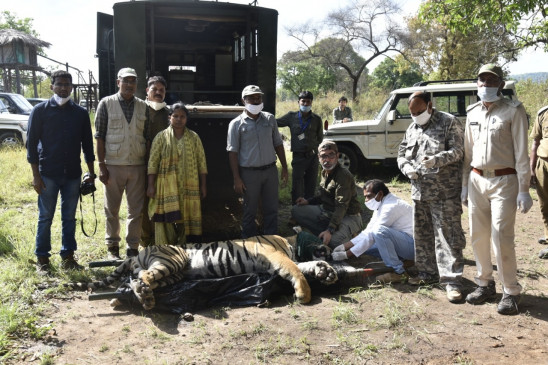 कान्हा से वन विहार भोपाल भेजा टाइगर - सारणी से पकड़कर लाया गया था