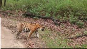 पहले ही दिन स्पाट हुआ टाइगर - कान्हा टार्ईगर रिजर्व में शुरू हुआ पर्यटन, जांच के बाद ही मिला प्रवेश
