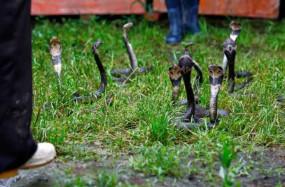 अजब-गजब: चीन के इस गांव में होती है जहरीले सांपों की खेती