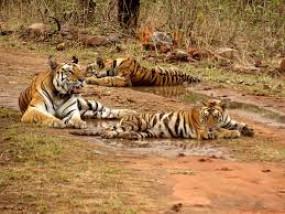 पछले 3 वर्षों में मारे गए 137 टाईगर, करोड़ों रुपए पाने वाले वन विभाग से नहीं संभल पा रहे देश के राष्ट्रीय पशु