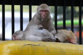 तेलंगाना में बंदरों के हमलों में 30 मेमनों ने गंवाई जान