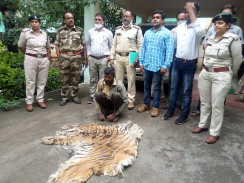 टाइगर की खाल सहित आरोपी गिरफ्तार - शिकारी ने फॉरेस्ट की टीम से ही कर लिया सौदा
