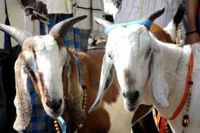 कोरोना वायरस: उत्तर प्रदेश में मास्क नहीं पहनने पर बकरी गिरफ्तार!