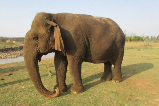 संजय टाईगर रिजर्व में सात हाथी, महावत एक भी नहीं - देख-रेख चौकीदारों के हवाले