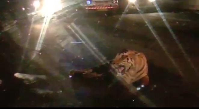 फोरलेन सड़क पर घंटे भर तक आराम फरमाता रहा नर बाघ
