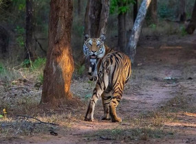 बांधवगढ़ टाईगर रिजर्व में आखिरी दिन सैलानियों को तालाब किनारे दिखे वनराज , अब अक्टूबर में खुलेगा