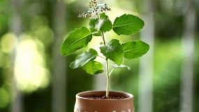 Astrology : तुलसी का पौधा लगाने से पहले ध्यान रखें ये 5 बातें