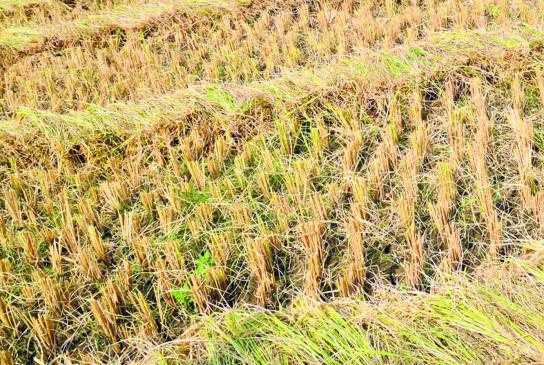 वर्धा जिले में अज्ञात रोग से पीली पड़ रही फसलें