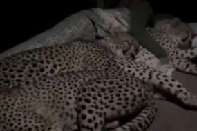 Fake News:राजस्थान के पीपलेश्वर महादेव मंदिर में चीते के साथ सो रहा व्यक्ति, जानें क्या है वायरल वीडियो का सच