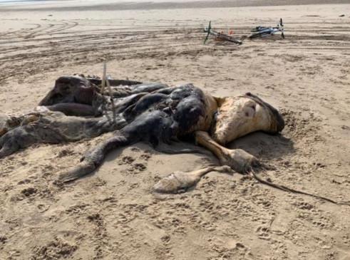 अजब-गजब: समुद्र के किनारे मिला रहस्यमयी जीव, सोशल मीडिया पर फोटो हुए वायरल