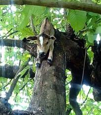 चरवाहे पर बाघ का हमला, बरबसपुर मेेंं किया बछड़े का शिकार , पेड़ पर मिला आधा शरीर