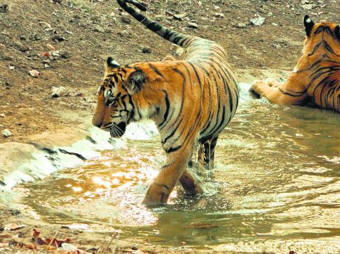 पश्चिम महाराष्ट्र के जंगलों में दहाड़ेंगे विदर्भ के बाघ