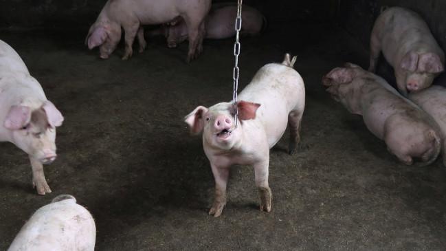 चरम पर कोरोना महामारी: अब असम में फैल रहे अफ्रीकन स्वाइन फ्लू ने बढ़ाई चिंता, 12 हजार सुअरों को मारने का आदेश