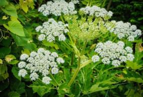 अजब-गजब: यह है दुनिया का सबसे जहरीला पौधा, जिसे छूने मात्र से जा सकती है जान