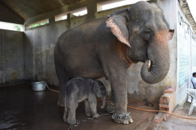 हथिनी रूपकली ने दिया मादा बच्चे को जन्म - टाईगर रिजर्व में बढ़ा हाथियों का कुनबा, 15 पहुंची संख्या