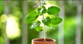 श्राद्ध 2020: पितृपक्ष में लगाएं ये पांच पौधे, पितरों का मिलेगा आर्शीवाद