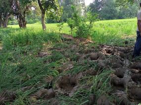 शहर के नजदीक आ धमका 35 हाथियों का झुंड, 50 किसानों के खेत में खड़ी फसल उजाड़ दी