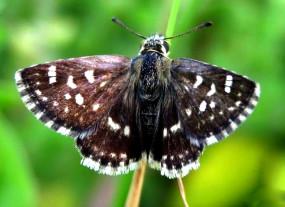 राजस्थान में पाई गई भारत में तितली की 1328वीं प्रजाति