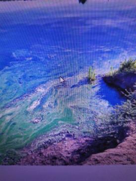 नर्मदा नदी के जलीय जंतुओं के लिए जानलेवा साबित हो रहा अझोला शैवाल