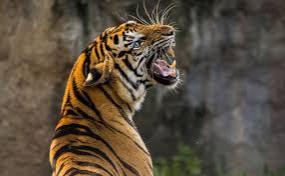 बाघ के हमले में किसान की मौत, वन विभाग के खिलाफ गांववालों में नाराजगी
