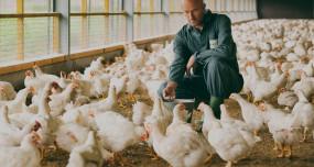 चिकन, अंडे की बढ़ी मांग, पोल्ट्री इंडस्ट्री में रिकवरी