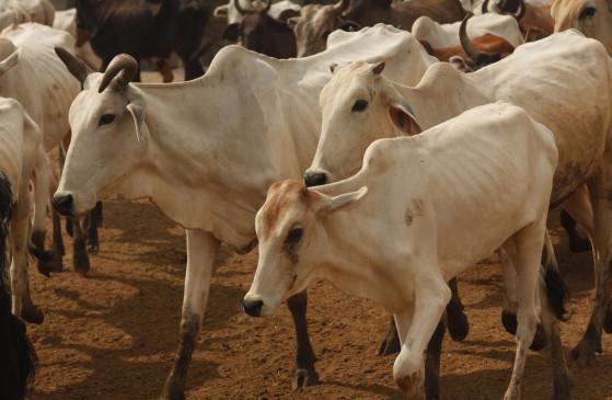 कर्नाटक : गो-तस्करी से बचाए गए 6 गाय