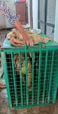 हैदराबाद के बाहरी इलाके में घूम रहा तेंदुआ पकड़ा गया