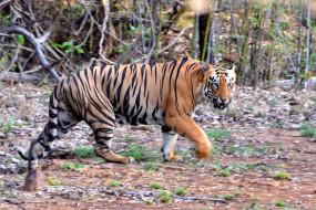दुधवा रिजर्व में बाघ के हमले में एक की मौत