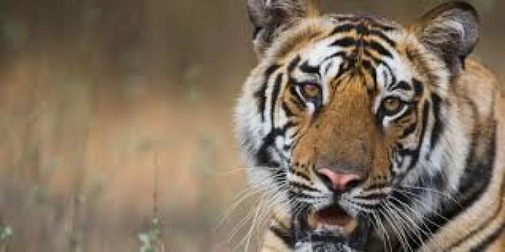 वन विभाग के शिकंजे में आया 10 लोगों को निवाला बना चुका बाघ