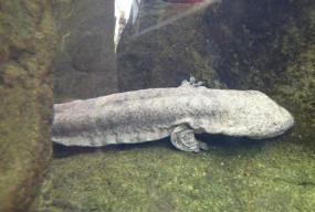 अजब-गजब: छिपकली की तरह दिखता है यह अजीबोगरीब जीव, जो बिना कुछ खाए भी कई सालों तक जिंदा रह सकता है